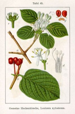 E2_22_Lonicera_xylosteum